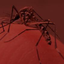 Aedes aegypti – reapresentação